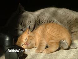 Голубая британская кошка c красным
